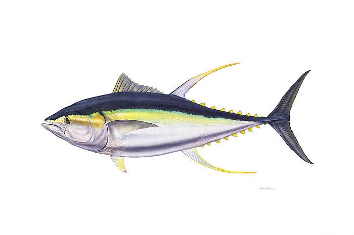 trophy yellowfin tuna